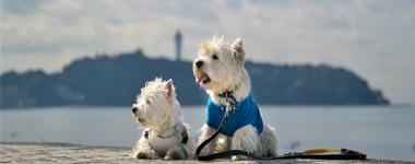 湘南江ノ島の海辺を 白犬友達と楽しみました 自由参加!13:00集合写真は今年も素敵に撮れました。